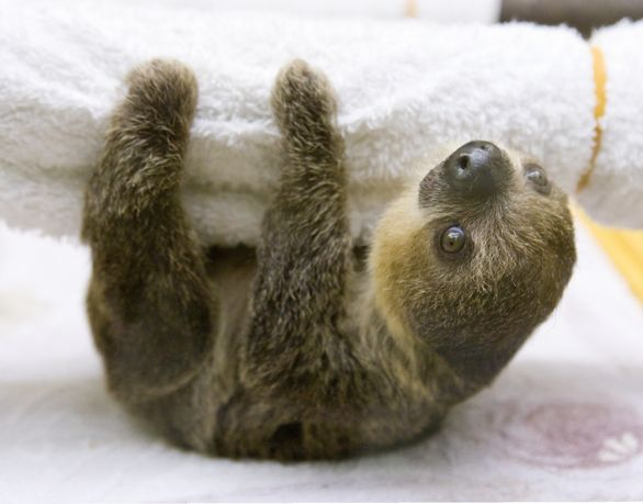 ~Baby sloth~ We are saving up for one. They have no fear of humans. Actually, they would hug you, if you picked up a wild one, from a tree. I have researched sloths, & I would ♡ to have one. They live up to about 40 human years, in captivity. I want one so bad!! Also, they make the most angelic sounds, & they also smile!