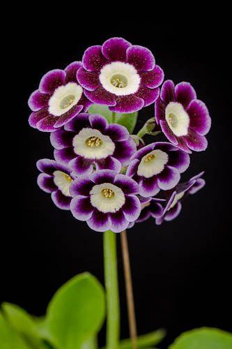 https://flic.kr/p/dUQP9J | 120521_487_Primula auricula 'Kimber Boy'.jpg | Primula auricula 'Kimber Boy', late May.