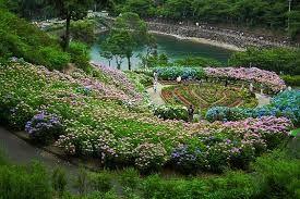 Znalezione obrazy dla zapytania hydrangea japan