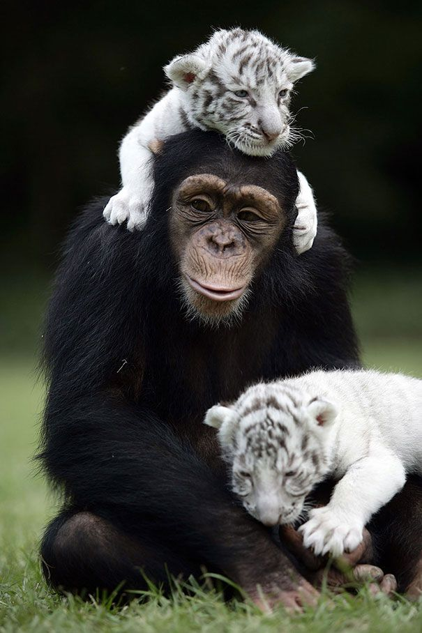 Unusual Animal Friendships That Will Melt Your Heart: Anjana the Chimpanzee and Tiger Cubs