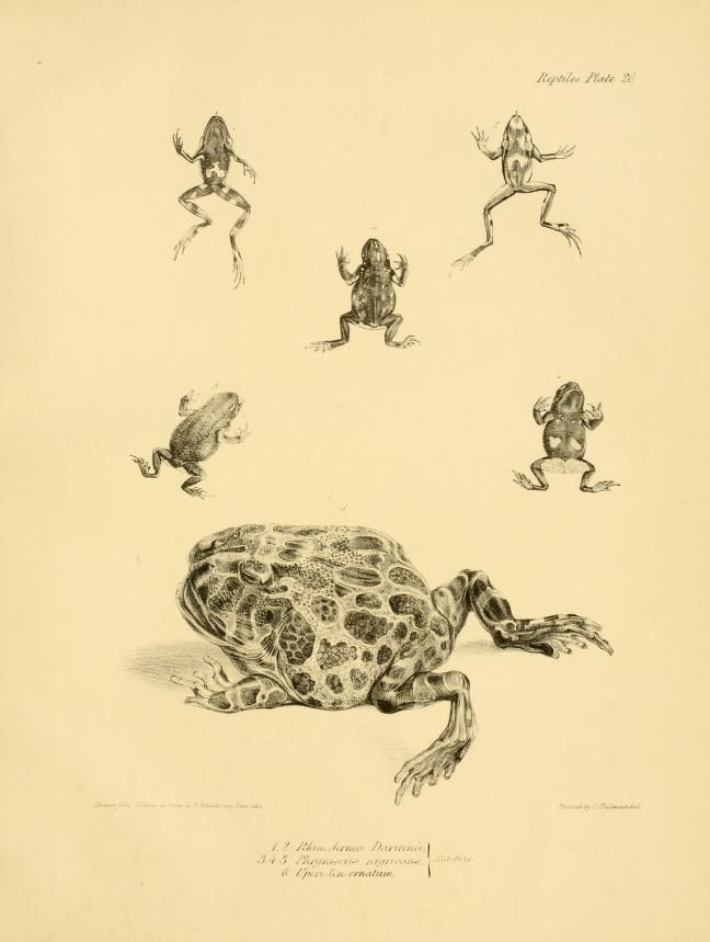 The zoology of the voyage of H.M.S. Beagle, during the years 1832-1836, part 5 (Reptiles). Darwin, Bell, Gould, Gould, Owen, Waterhouse, published 1838.