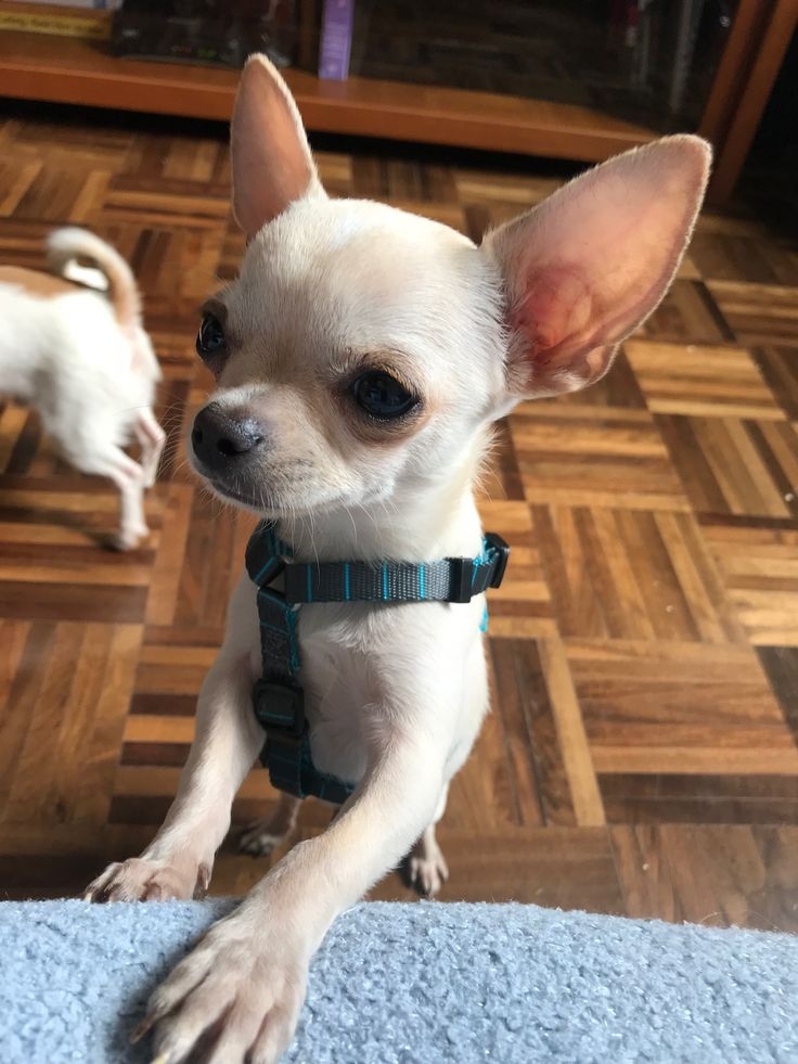 chihuahua dog breeder 22573 best group chihuahuas best dog breed ever 3051