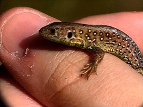 ▶ Süßes Zauneidechsen Baby - Cute Sand Lizard Baby (Lacerta agilis) - YouTube