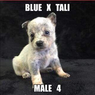 Litter of 7 Australian Cattle Dog puppies for sale in JEFFERSON, SC. ADN-36623 on PuppyFinder.com Gender: Male. Age: 5 Weeks Old