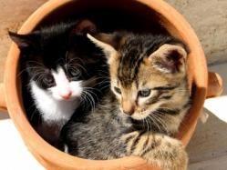 """El gato común europeo no está sujeto a ninguna descripción porque ninguno de sus ejemplares es igual a otro, ni físicamente ni en el carácter. Los hay de pelo corto, de rayas, de manchas, negros, grises, blancos, marrones, atigrados... Sus variedades son interminables. Son los que conocemos habitualmente como """"gatos callejeros"""", o gatos sin raza. A pesar de ello, millones de estos dulces y cariñosos gatitos esperan impacientemente un hogar, y serán los que más devuelvan el afecto recibido."""
