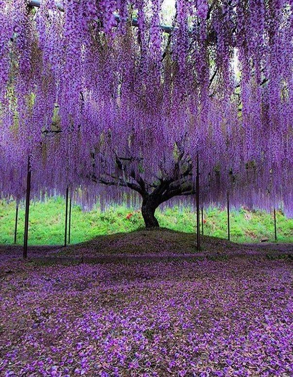 Byakugouji Temple Japan In 2020 Wisteria Tree Purple Wisteria Purple Trees