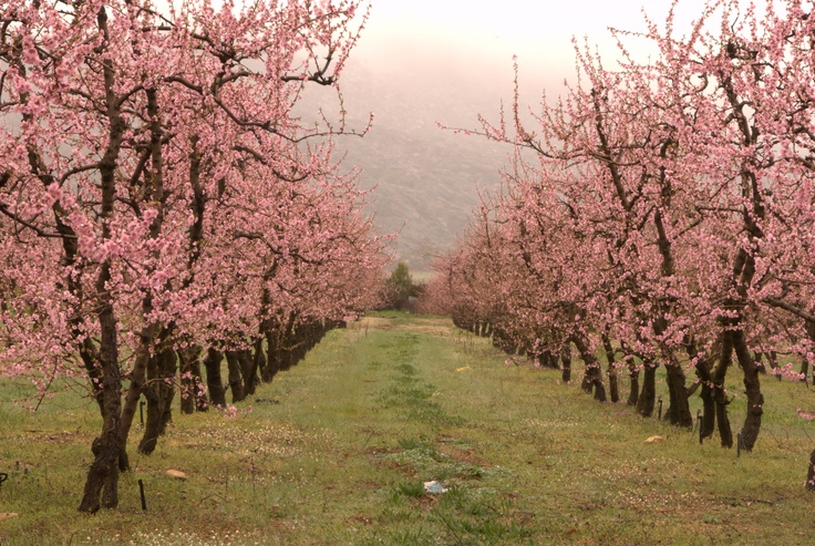 Apple trees in Ceres South Africa