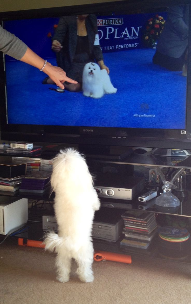 My maltese diva watching the national dog show!!