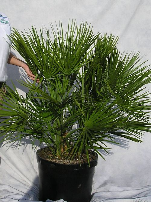 European Fan Palm In Florida Central Florida Residents