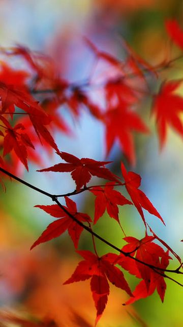 Cell Phone Backgrounds | cell phone 360x640 hd red maple leaf cell phone wallpapers