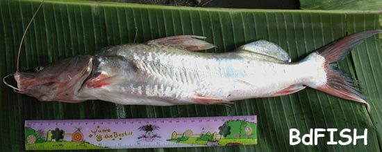 Guizza or Guizza Ayre, Giant-river Catfish, Sperata seenghala