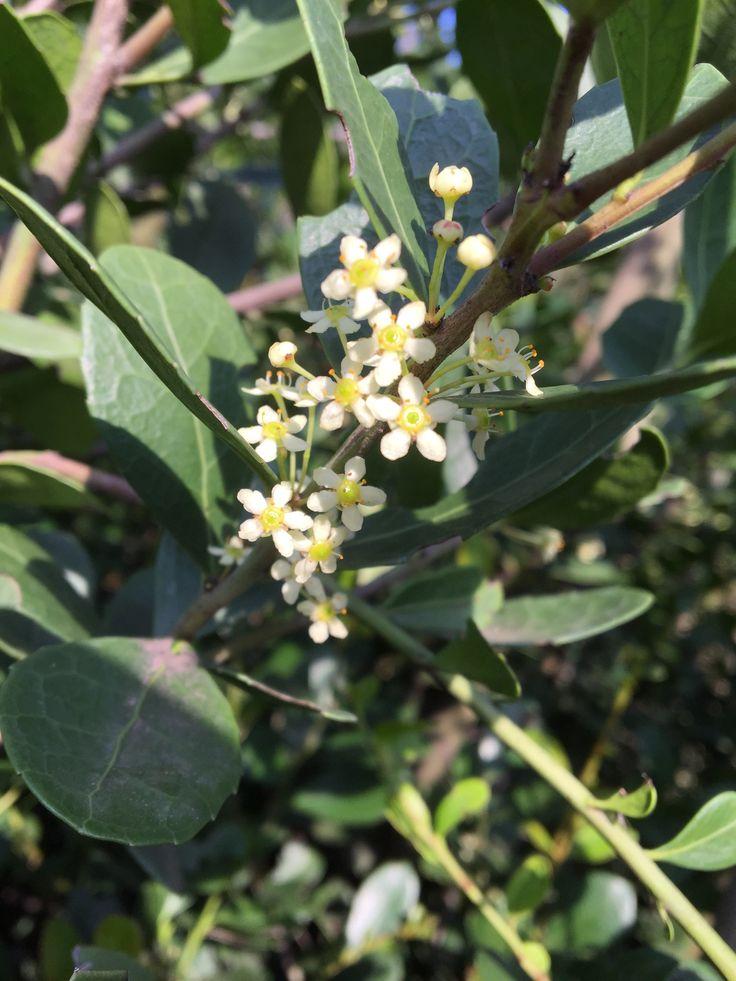 Maytenus procumbens (Dune Koko tree)