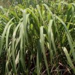 """Citronella grass (Cymbopogon nardus) also referred to as the """"mosquito plant"""" produces a concentrated oil when crushed used in natural insect repellent.  *Full Sun  *3-6 feet tall  *Zones 10-11  *Fragrant"""