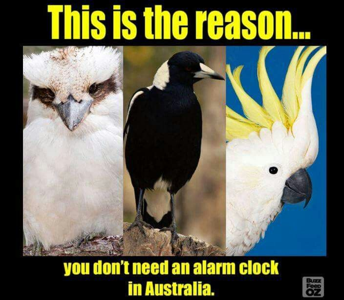 Kookaburra, Magpie, Cockatoo