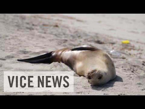 地球温暖化の影響はここにも? 座礁し続けるアシカの子供たち #地球温暖化 #温暖化 #アシカ #GlobalWarming