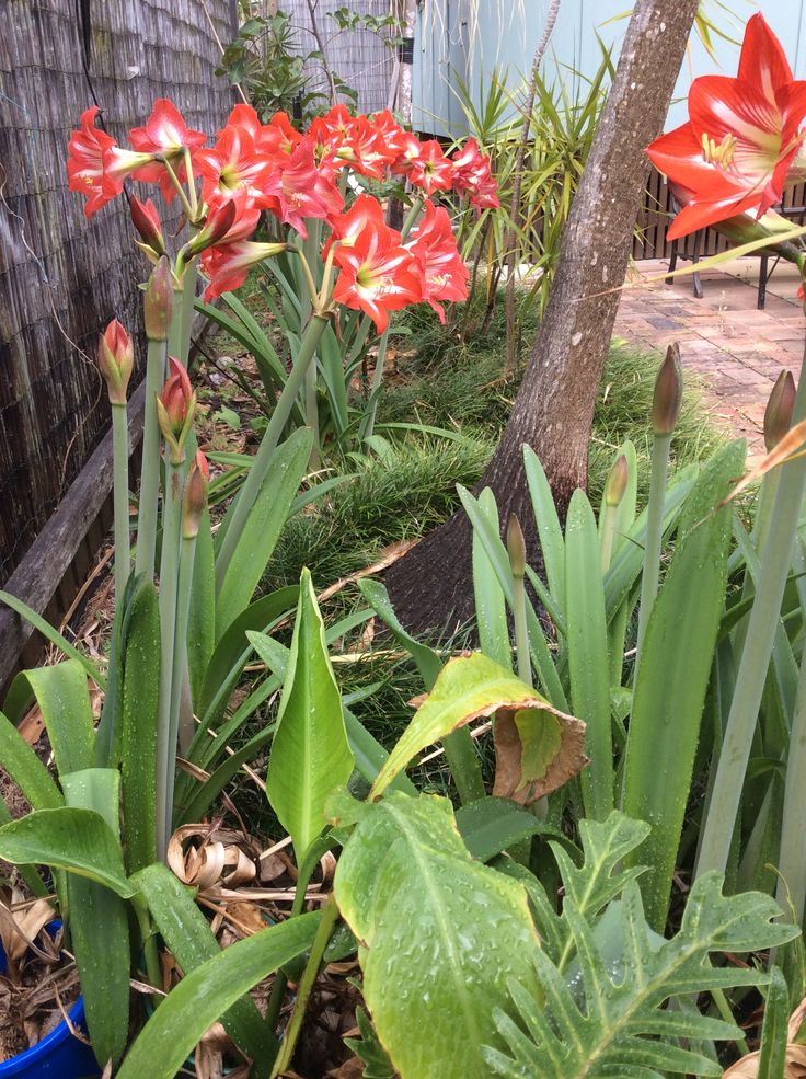 Stunning Hippeastrum display in our courtyard garden. AKA September Lilies.