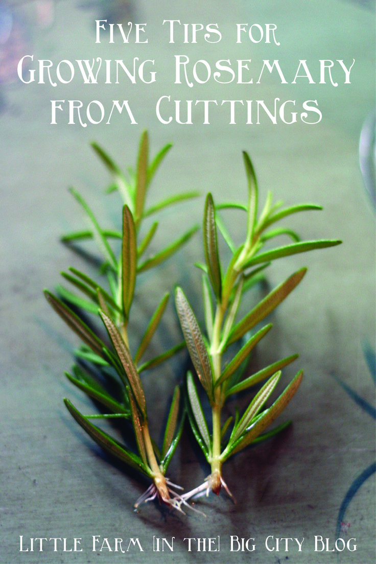 YC and I are attempting to grow about 200 rosemary plants from cuttings (more on exactly why we're doing that later)... Last summer, I grew a few plants on accident when I took cuttings and left th...