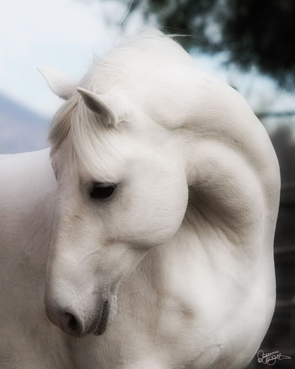 Angelic White Horse Lipizzan Stallion
