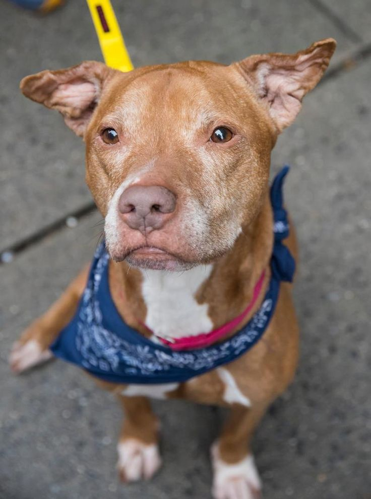 Angel Face is an adoptable Pit Bull Terrier searching for a forever family near Brooklyn, NY. Use Petfinder to find adoptable pets in your area.