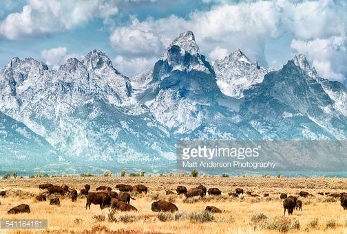 Bildbanksbilder : Bison (or Buffalo) below the Grand Teton Mountains