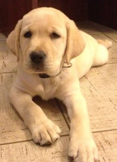 ¿Cómo es el perro Labrador Retriever?…