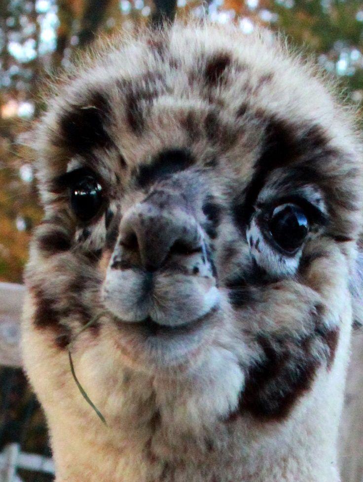 My spirit animal.  harlequin appaloosa alpaca