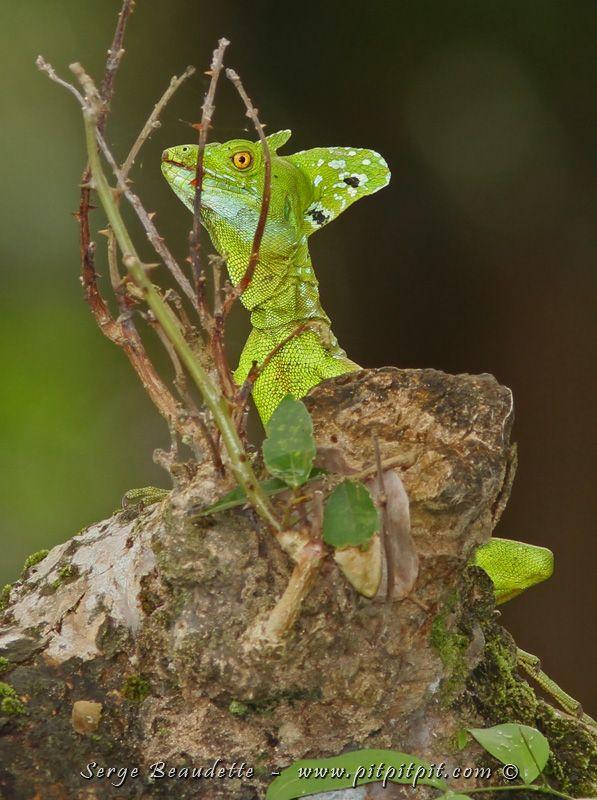 Et nous observons un autre reptile vraiment spécial : le Lézard Jésus-Christ (parce qu'il coure sur l'eau!), appelé aussi Basilic vert! Il est magnifique avec sa belle crête verte, ses points bleus et sa gorge légèrement turquoise!
