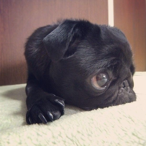 Pug: Black Pugs Puppys, Puppys Eye, Small Dogs, Puppys Dogs Eye, Pugs Dogs, Big Eye, Pugs Life, Baby Pugs, Baby Black