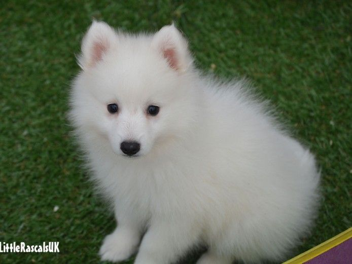 Japanese Spitz Puppies For Sale Japanese Spitz Puppy Japanese Spitz Dog Breeder