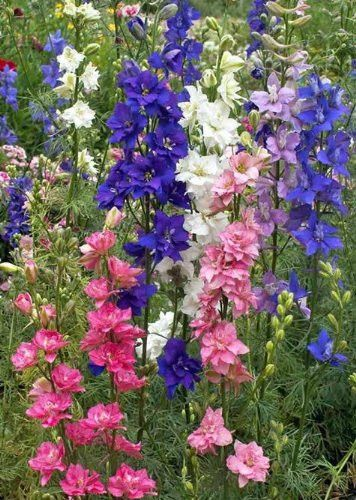 Rocket Larkspur (Delphinium Consolida) - Delphinium Larkspur is an annual flower grown from wild flower seed. It normally grows between 2 to 3 feet tall depending on soil fertility and moisture. It us