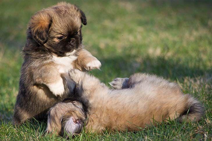 Tibetan Spaniel Dog Breed Information Spaniel Puppies Dog