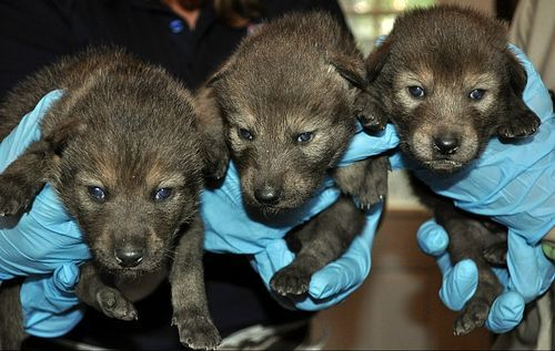 new-born Red Wolf puppies at the South Dakota Zoo