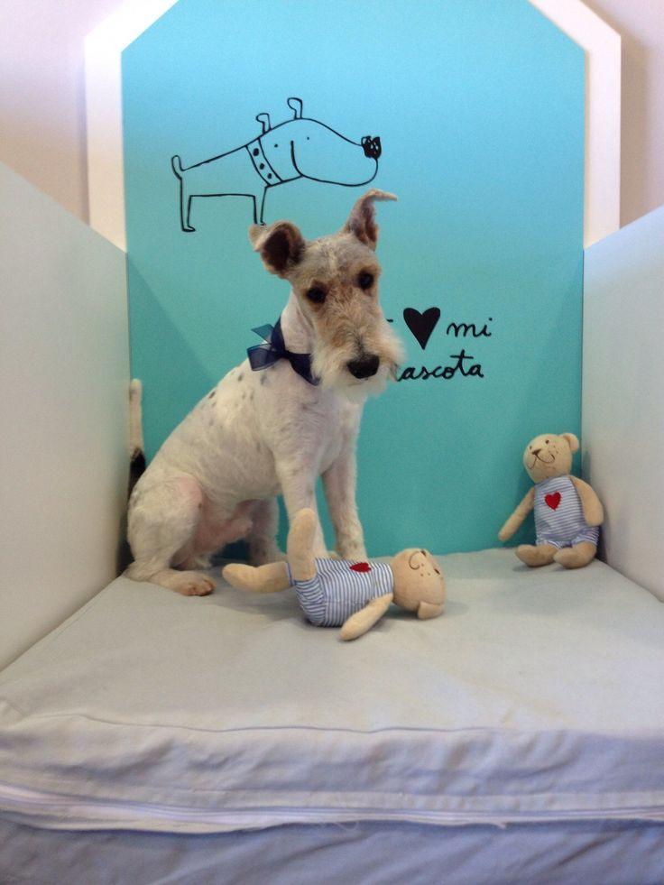 Boris, después de una sesión con Alba nuestra #peluquera canina. llama al 966 592 772 y pide tu cita :)