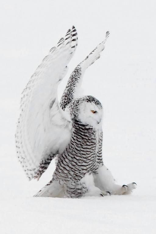 Fantastic photo of a Snowy Owl by John Chapman Photographer