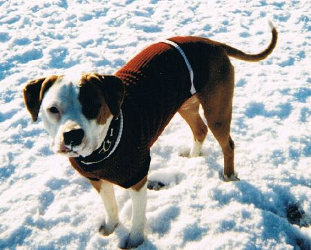 shiner-pit bull clothes