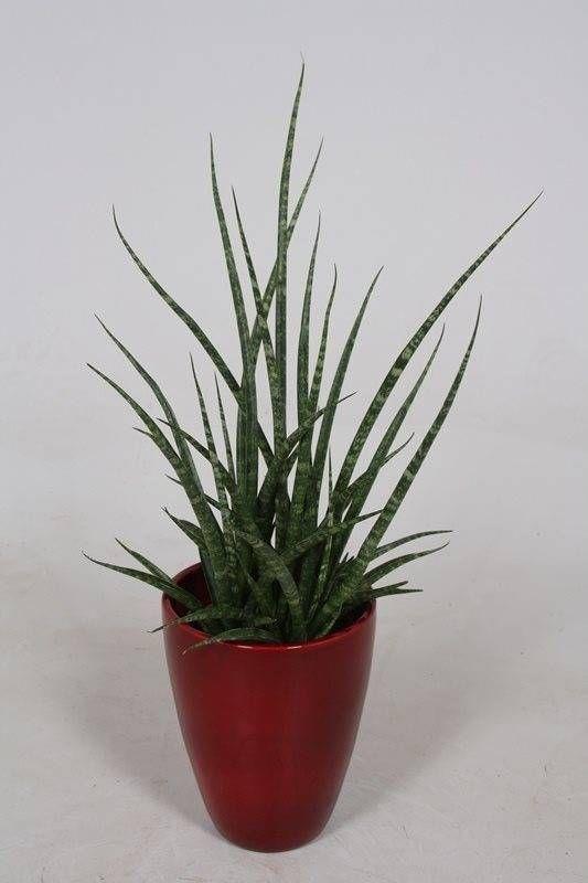 51 besten sansevieria bilder auf pinterest sukkulenten for Dekor von zierpflanzen