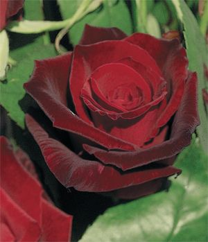 Dark Roses Barkarole