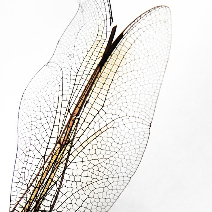 dragonfly wings (mary jo hoffman)