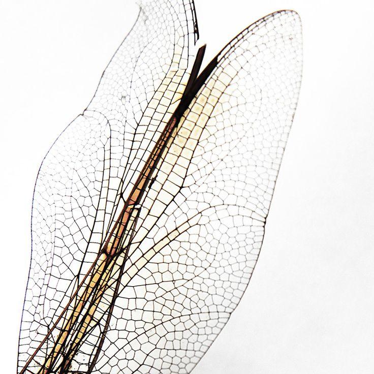 dragonfly wings (mary jo hoffman)
