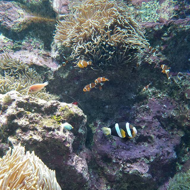 【fuyu.l】さんのInstagramをピンしています。 《#カクレクマノミ#ファインディングニモ#FindingNemo#ファインディングドリー#FindingDory#ファインダー越しの私の世界#ふぁいんだー越しの私の世界#やっぱり水中が好き#水族館が好き#アクアリウム#aquarium#魚#さかな#お魚#fish#フィッシュ#池袋#サンシャイン#サンシャイン60#サンシャイン水族館#青の世界#水中#青#碧#ブルー#blue#東京都#年末》