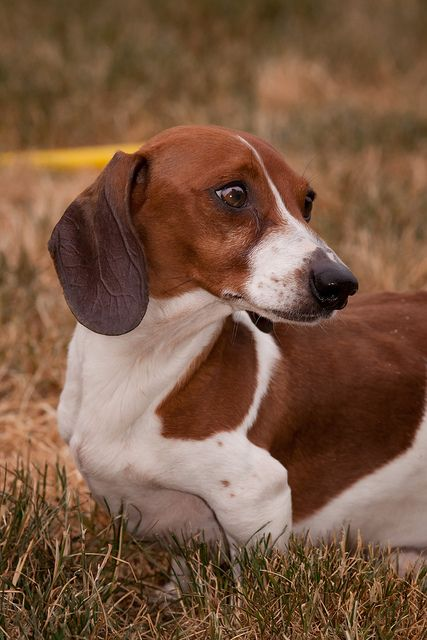Piebald Dachshund!! AWWWWW... that is so cute! I love that color!