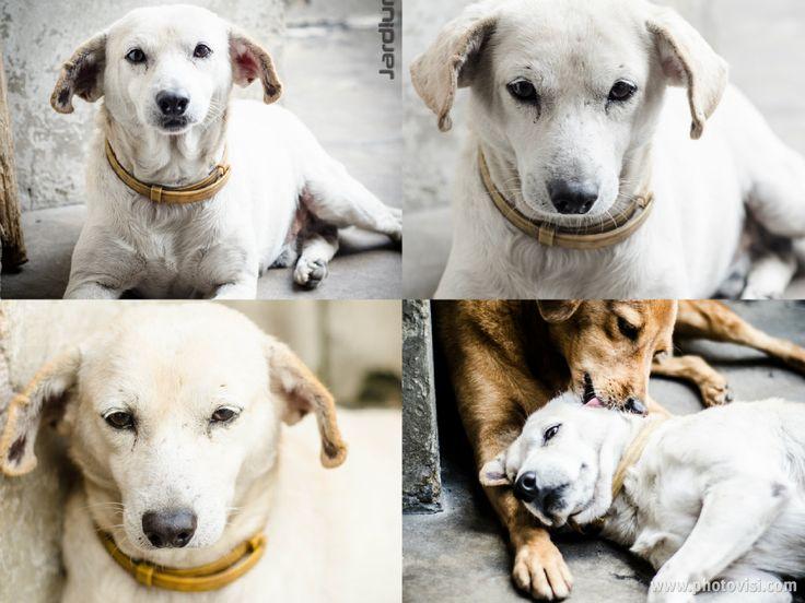 SOCRATES, fue rescatado en Cabecera en mayo de 2013,en muy mal estado. Tenía una infección severa, desnutrición y deshidratación. Por su edad, tiene alrededor de 9 años se encontraba muy débil y decaído. Hoy es un perro rejuvenecido y juguetón, amoroso con humanos y animales. Es muy tranquilo y una excelente compañía. Pesa 13 kilos y es de tamaño mediano. Son muy amigos con RAMSÉS. Imagen cortesía de JARDIUM https://www.facebook.com/jardium?fref=ts