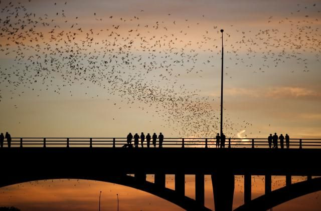 From March to October, 1.5 million bats emerge nightly from bat-sized crevices in the underside of the Ann W. Richards Congress Avenue Bridge in Austin, TX.