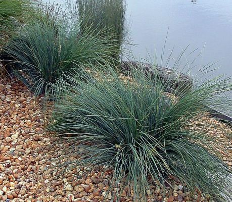 Lomandra confertifolia 'Seascape' - 1-2' high x 2-3' wide, part to full sun, moderate water. A more blue colored leaf and compact selection of Lomandra.