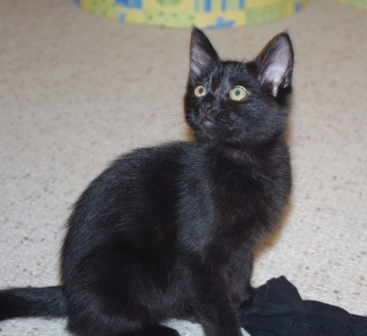 Meet 11 wk old Summer!  She is a sweet and friendly kitten who loves to wrestle with her siblings.  She is curious and loves to play with her toys.  She is a quiet girl and would make a great addition to any family. www.orphankittenrescue.com