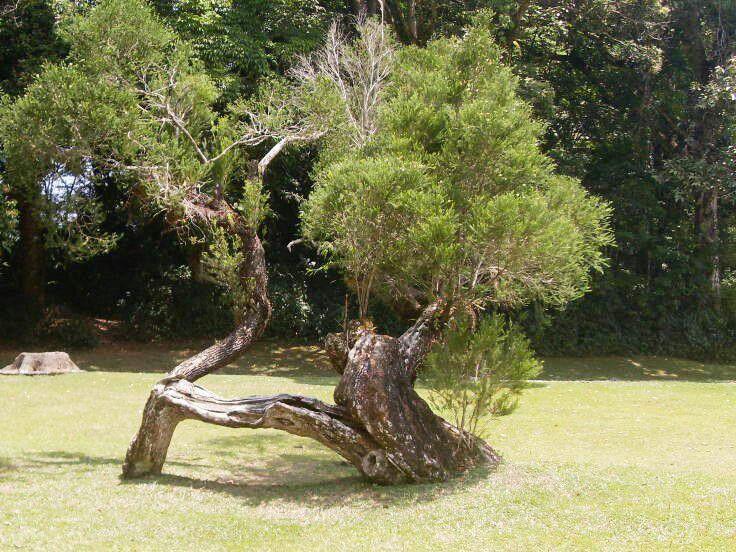 Cibodas Botanical Garden Indonesia.. Big Bonsai