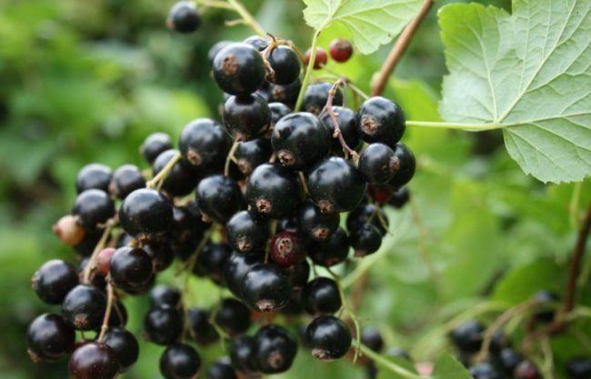 Поговорим про самые урожайные сорта черной смородины. Их много и у каждого имеются свои достоинства и недостатки. Одни - ранние и уже в июне дают урожай, другие славятся чрезвычайно вкусными плодами, ...