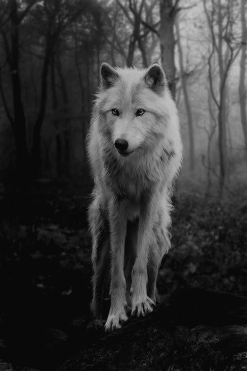 White wolf in dark