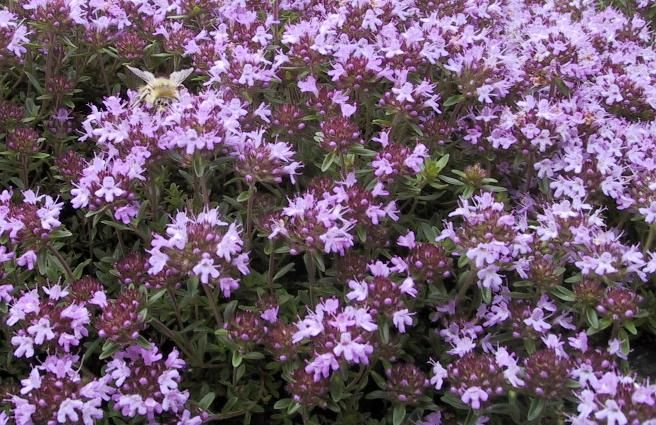 Creeping thyme as ground cover | Gardening | Pinterest