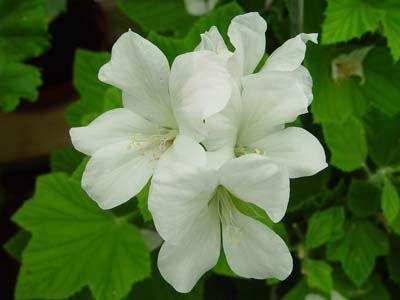 Pelargon P. cucculatum Strigifolium